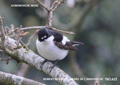 Gobemouche-Noir