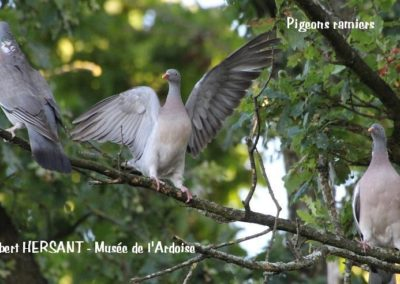 Pigeons-ramiers-RH
