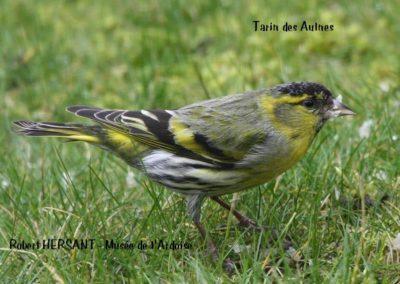 Tarin-des-Aulnes-RH