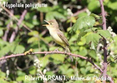 hypolais-polyglotte-copie