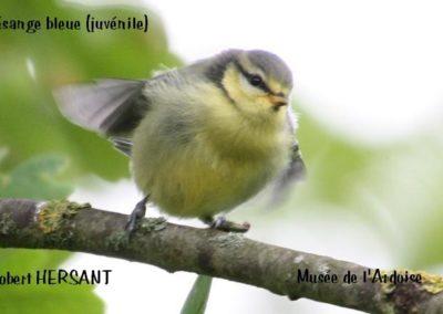 mesange-bleue-juvenile-RH