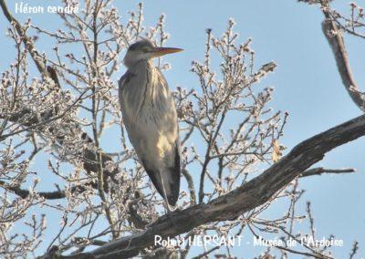 Heron-cendre-RH
